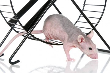 ניהול זמן מיועד לעכברי מעבדה